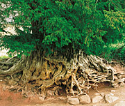 Root system of a wild yew at Merdon Castle, Hampshire. © Tim Hills