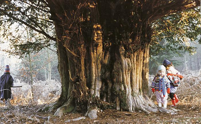 three small children walk around an ancient yew tree