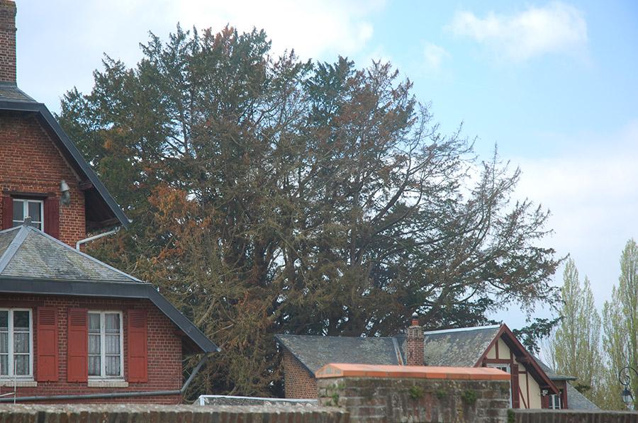chapel yew at La Haye-du-Routot, April 2014. © Wim Peeters